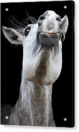 Horse Pulling Face Acrylic Print by Peter Meade