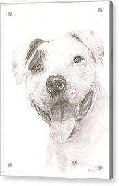 Pitbull  Acrylic Print by Rebecca Vose