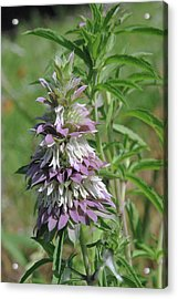 Horsemint Acrylic Print by Robyn Stacey