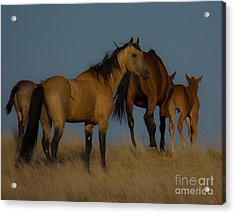 Horses 1 Acrylic Print