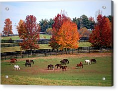 Horses Grazing In The Fall Acrylic Print
