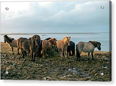 Horses In Iceland Acrylic Print