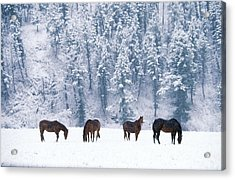 Horses In The Snow Acrylic Print by Alan and Sandy Carey and Photo Researchers
