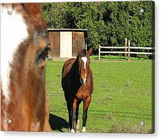 Horses Acrylic Print by Kathy Roncarati