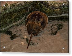 Acrylic Print featuring the photograph Horseshoe Crab by Kathleen Stephens