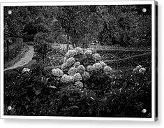 Hortencias-bosque Do Silencio-campos Do Jordao-sp Acrylic Print