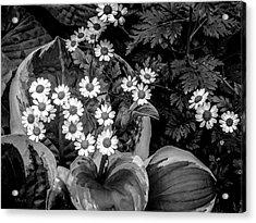 Hosta Daisies Acrylic Print