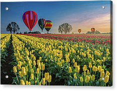 Hot Air Balloons Over Tulip Fields Acrylic Print by William Lee