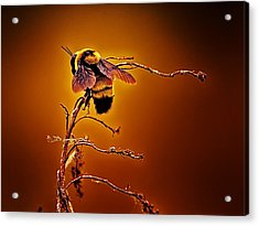 Hot Buzz Acrylic Print by Bill Tiepelman