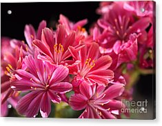 Hot Glowing Pink Delight Of Flowers Acrylic Print