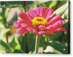 Hot Pink Flower In Frankemuth Michigan Acrylic Print by Cheryl Martin