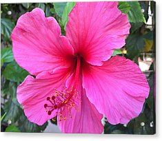 Hot Pink Hibiscus  Acrylic Print by Russell Keating