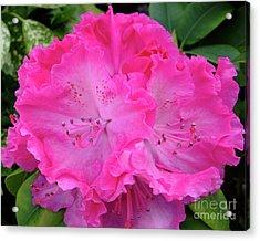 Hot Pink Rhoda Acrylic Print