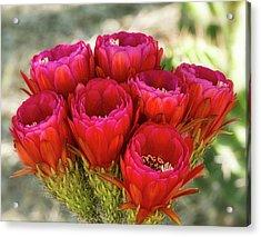 Acrylic Print featuring the photograph Hot Pink Torch Cactus Bouquet  by Saija Lehtonen