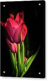 Hot Pink Tulip On Black Acrylic Print