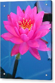 Hot Pink Water Lily Acrylic Print