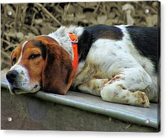 Hound Dog Acrylic Print by JAMART Photography