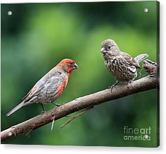 House Finch Courtship Acrylic Print by Wingsdomain Art and Photography