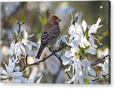 Acrylic Print featuring the photograph House Finch - D009905 by Daniel Dempster