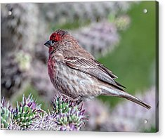 House Finch Male Acrylic Print