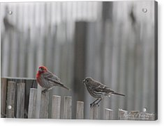 House Finches On The Fence Acrylic Print