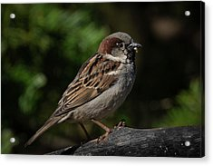House Sparrow 2 Acrylic Print