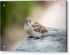 Acrylic Print featuring the photograph House Sparrow by Scott Lyons