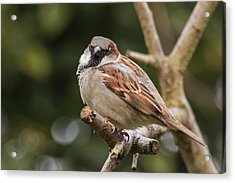 House Sparrow Acrylic Print