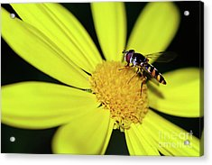Acrylic Print featuring the photograph Hoverfly On Bright Yellow Daisy By Kaye Menner by Kaye Menner