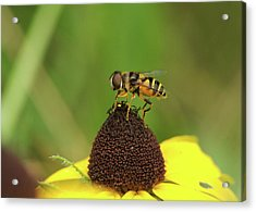 Hoverfly On Brown Eyed Susan Acrylic Print by Michael Peychich