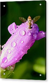 Hoverfly On Pink Flower Acrylic Print