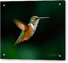 Hovering Allen's Hummingbird Acrylic Print