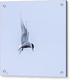 Hovering Arctic Tern Acrylic Print