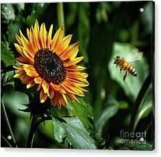 Hovering Bee Going For Sunflower Acrylic Print by Stephan Grixti