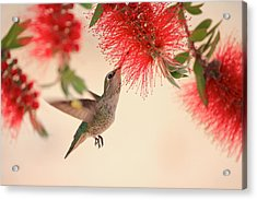 Hovering Hummingbird Acrylic Print by Penny Meyers