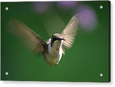 Hovering Hummingbird Acrylic Print by Robert E Alter Reflections of Infinity