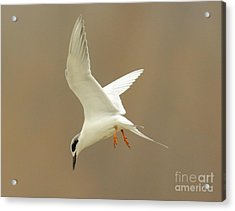 Hovering Tern Acrylic Print by Robert Frederick