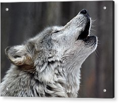 Howl Acrylic Print by Richard Bryce and Family