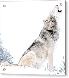 Howling Wolf 1 Acrylic Print