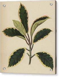 Hoya Variegata Acrylic Print by English School