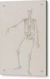 Human Skeleton, Anterior View Acrylic Print