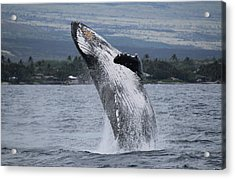 Acrylic Print featuring the photograph Humback Whale Breaching by Pamela Walton