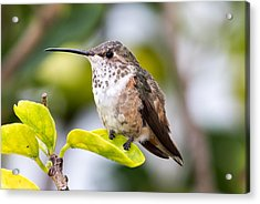 Hummer On A Leaf Acrylic Print by Phil Stone