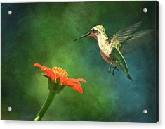 Humming Bird And Zinnia With Textures Series Acrylic Print