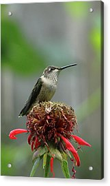 Humming Bird Atop Bee Balm Acrylic Print by David Stasiak