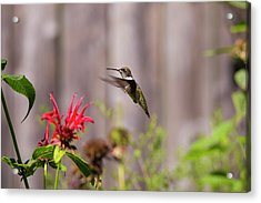 Humming Bird Hovering Acrylic Print by David Stasiak