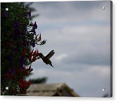 Humming Bird In The Parrots Beak Acrylic Print by Laurie Kidd
