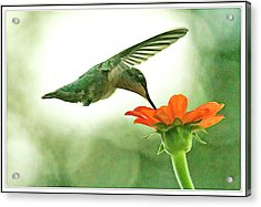 Humming Bird Moth And Butterfly Bush  Acrylic Print