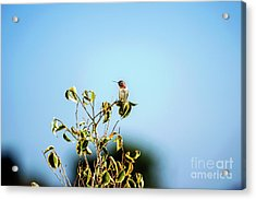 Acrylic Print featuring the photograph Humming Bird On A Branch by Micah May