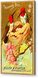 Humming Bird Victorian Tobacco Card By Allen And Ginter Acrylic Print